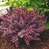 Royal Burgundy Barberry