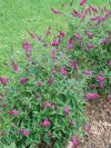 Lo and Behold Ruby Chip Butterfly Bush