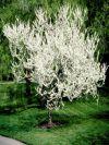 White Flowering Eastern Redbud