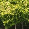Verdoni Hinoki Cypress Treeform
