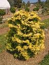 Confucious Golden Hinoki Cypress