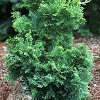 Split Rock Hinoki Cypress