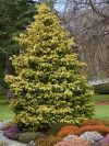 Gold Spangle False Cypress