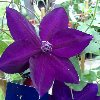 Amethyst Beauty Clematis