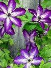 Venosa Violacea Clematis