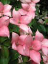 Rosy Teacups Chinese Dogwood