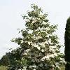 Venus Hybrid Dogwood