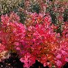 Old Fashioned Smoke Bush