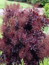 Lilla Dwarf Purple Smoke Bush