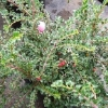 Hesse Cotoneaster