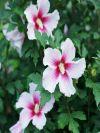 Paraplu Pink Ink Rose of Sharon