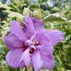 Carpa Variegated Rose of Sharon