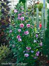 Purple Pillar Rose of Sharon