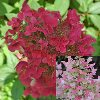 Fire and Ice Hydrangea