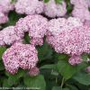 Incrediball Blush Hydrangea