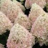Sweet Summer Hydrangea Tree