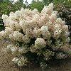 Hydrangea Bobo