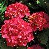 Red Sensation Hydrangea