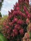 Berry White Hydrangea