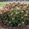 Munchkin Oakleaf Hydrangea
