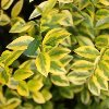 Golden Variegated Privet
