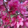 Purple Wave Crabapple