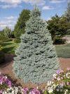 Sester's Dwarf Blue Spruce