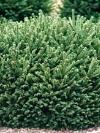 Pumila Dwarf Spruce