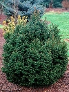Sharpleaf Norway Spruce