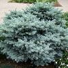 Thume Dwarf Globe Blue Spruce