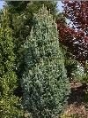 Pyramidal Blue Spruce