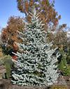Bonny Blue Spruce
