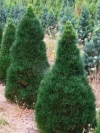 Green Penguin Pine