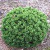 Sherwood Compact Mugo Pine