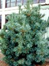 Blue Japanese White Pine