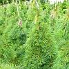 Boyko Weeping White Pine