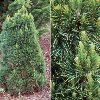 Compact Green Scotch Pine