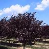 Royal Burgundy Kwanzan Cherry
