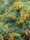 Orange Charmer Firethorn