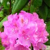 Roseum Two Rhododendron