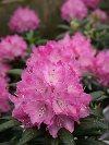 Dandyman Pink Rhododendron
