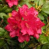 Elviira Rhododendron