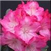 Fantastica Rhododendron