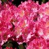 Kalinka Rhododendron