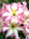 Landmark Rhododendron