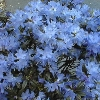 Blue Baron Rhododendron