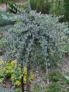 Silver Weeping Willow