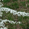 Double Bridal Wreath Spirea