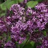 Dark Purple Bloomerang Lilac