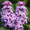 Prairie Petit Lilac